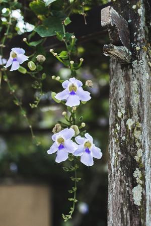 Blue orchid in garden