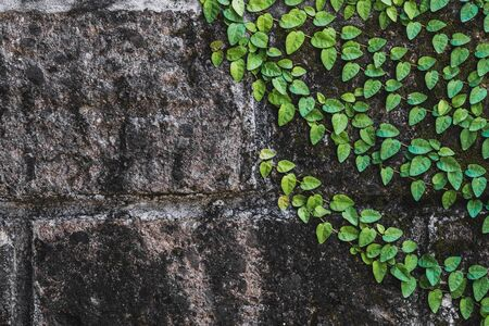 Texture of black aged stone wall with green clambering plant in Bali Stock Photo
