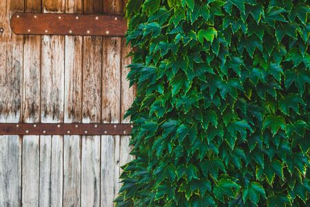Old wooden fence covered with green ivy, with empty space for text.