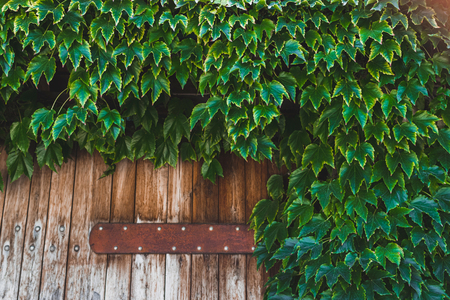 Old wooden fence covered with green ivy, with empty space for text