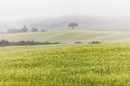 Spring idyllic foggy landscape with one tree on hill in Tuscany, Italy