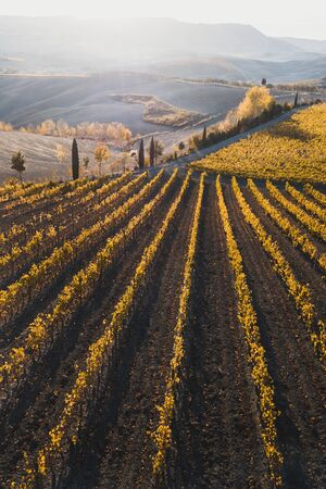 Autumn view of italian vineyards in golden orange colors at sunset. Drone aerial photo. Famous Tuscany hills in San Quirico DOrcia, Italy. Winery agriculture in Europe.