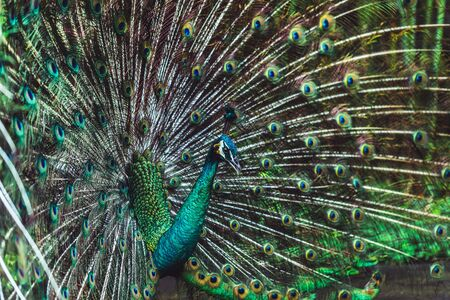 Colorful dancing indian male peacock and its wonderful colorful tail. Portrait close up. Multi color feather pattern as background or texture
