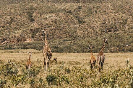 Family of giraffes walking in Kenya national park in Africa. Amazing wild life of animals. Flock of giraffes. Safari in Nairobi, welcome to Africa.