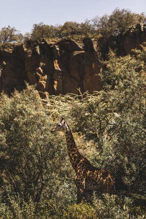 One giraffe hiding in bushes. Safari in Kenya, Africa. Wild nature and animals. Travel in african savannah.