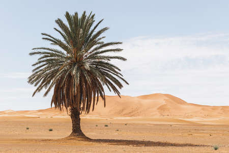 Beautiful desert landscape with sand dunes and one lonely palm. Travel in Morocco, Sahara, Merzouga. Nature background. Stockfoto