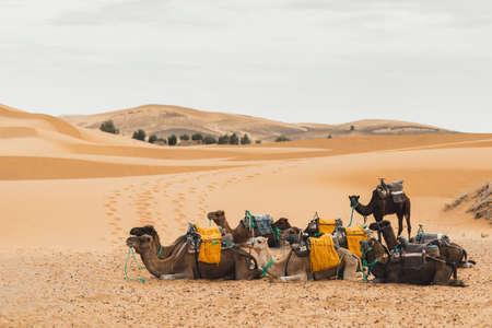 Camel caravan rest in Sahara desert, Morocco. Sand dunes on background. Tourism in Africa. Traditional arabic transport. Standard-Bild