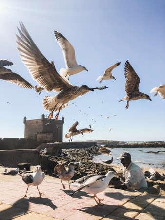 ESSAOUIRA, MOROCCO - SEPTEMBER 10, 2019: Old fisherman feeding seagulls in harbor Essaouira, Morocco. Many birds flying around. Editorial