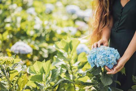 Gardening florist concept. Woman hands holding blue hydrangea blooming flower in garden. Empty place for text on background. Standard-Bild