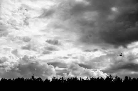 a lone bird flies over the forest in a gloomy sky. black and white picture. Фото со стока