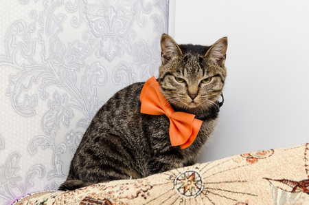 gloomy tabby cat with a bow at the neck looks into the camera