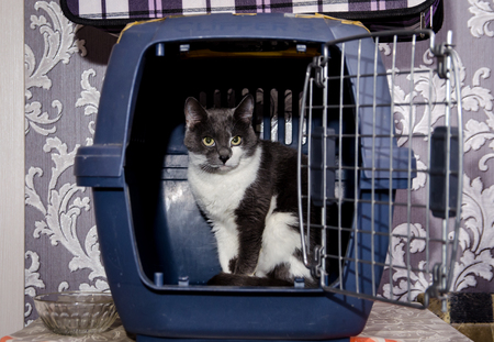 two-colored cat in the carrying case is afraid to go outside