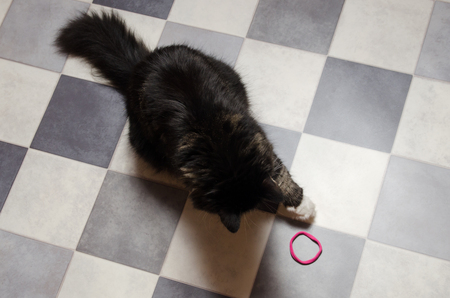 big black fluffy cat plays with rubber on checkered black and white floor.