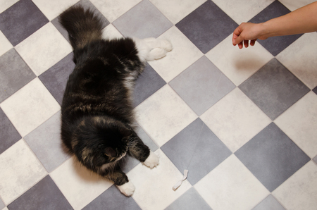 man plays with big black fluffy cat using bowtie toy on string.