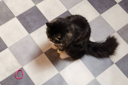 big black fluffy cat sits on black and white checkered floor and looks at rubber toy. Reklamní fotografie