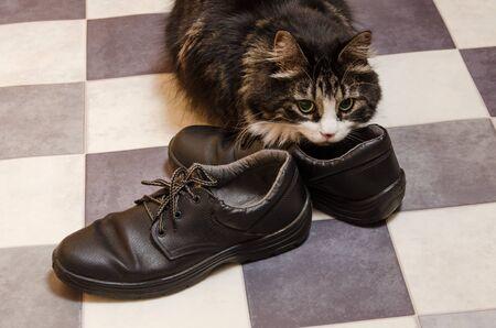 black fluffy big cat sniffs mens shoes.