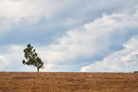 Lonely pine-tree on dry grass. Cloudy blue sky. Autumn nature landscape and virgin nature concept. Copy space in right Фото со стока