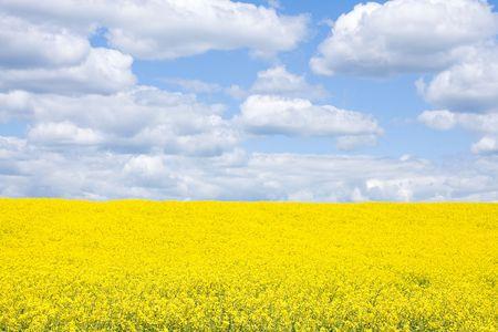 Field with rape