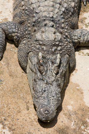basking: Crocodile