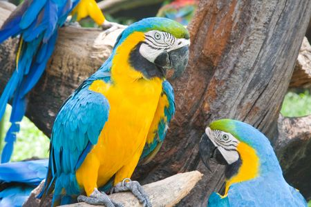 Closeup of a blue and yellow macaw, or Ara. photo