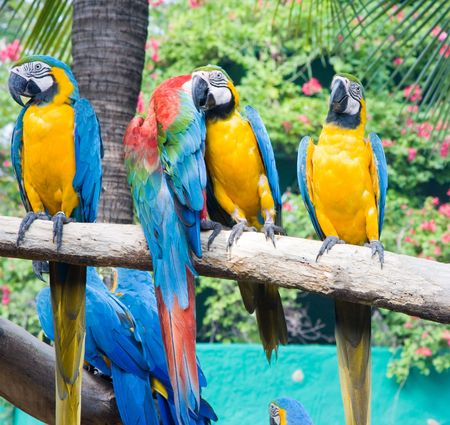 Blue and yellow macaw, or Ara photo