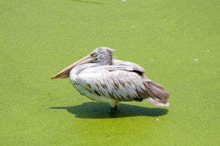 Pelican Stock Photo - 5888937