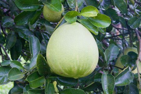 Pomelo tree photo