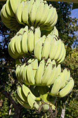 Bananas on a tree photo