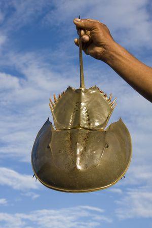 Thai fisherman holding horseshoe crabs against the sky photo