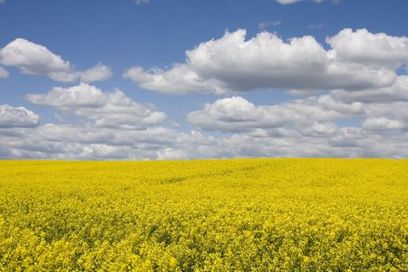 Yellow field rape in bloom with blue sky and white clouds  Stock Photo