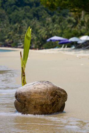 Coconut on the beach photo