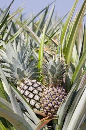 The farm of pineapple, tropical fruit photo