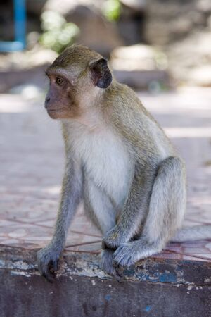 macaque: Macaque monkey Stock Photo