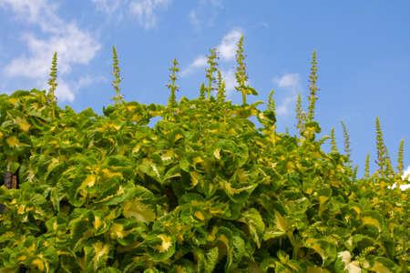 Coleus plants Reklamní fotografie