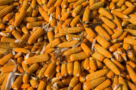 Fresh organic ripe corns  photo