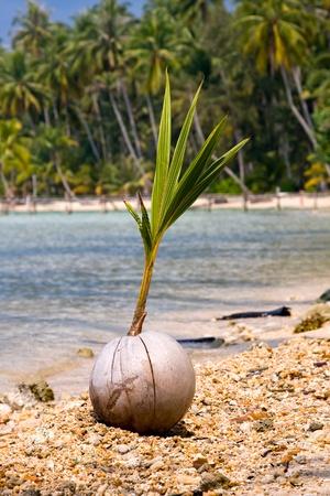 Coconut on the beach photo