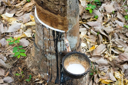 Milk of rubber tree flows into a wooden bowl . Thailand . photo