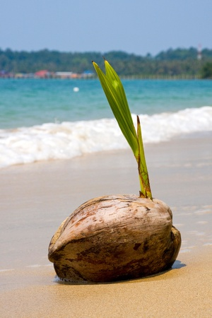 Coconut on the beach . Thailand . photo