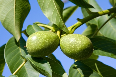 Green walnuts growing on a tree close up