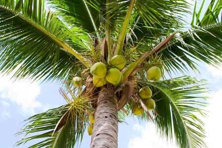 Close up of coconut palm tree Stock Photo