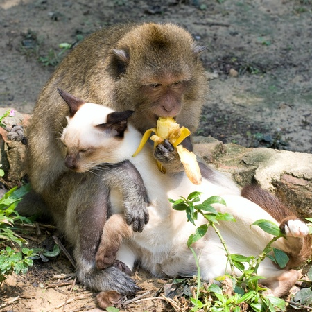 Monkey and domestic cat , Thailand . photo
