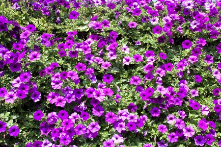 Petunia (Petunia) - perennial herb of the family Solanaceae. Flower background photo