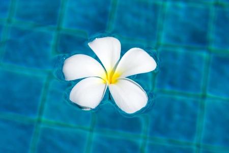 Frangipani flower in the swimming pool photo