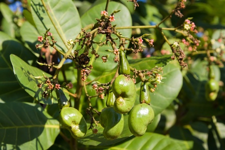 cashew tree: Cashew nuts growing on a tree. This extraordinary nut grows outside the fruit. Stock Photo