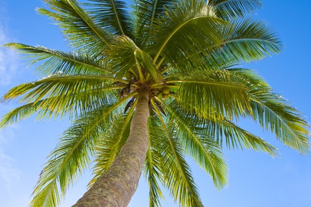 Coconuts palm tree perspective view from floor high up Stock Photo - 12961744