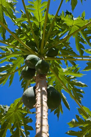 Bunch of papayas hanging from the tree Stock Photo - 13228881