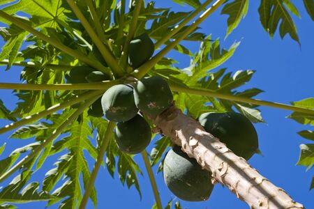 Bunch of papayas hanging from the tree Stock Photo - 13300691