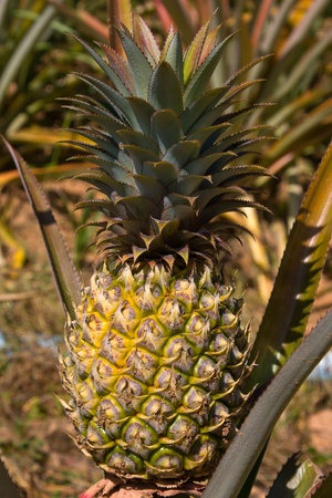 Pineapple on the plant tropical fruit in nature, Thailand Stock Photo - 13484822