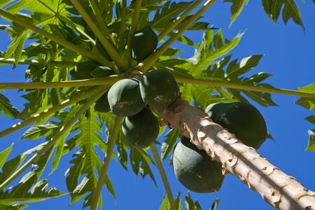 Bunch of papayas hanging from the tree, Thailand  Stock Photo - 13484820