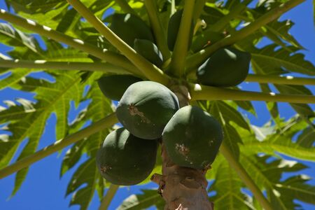 Bunch of papayas hanging from the tree, Thailand. Stock Photo - 13730616